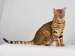 chat california toyger - tigre