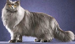 Chat-British-Longhair