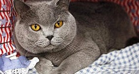 Chat-British-Shorthair