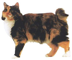 chat bobtail russe