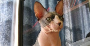 photos-chat-sphynx