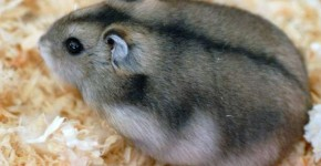 hamster russe
