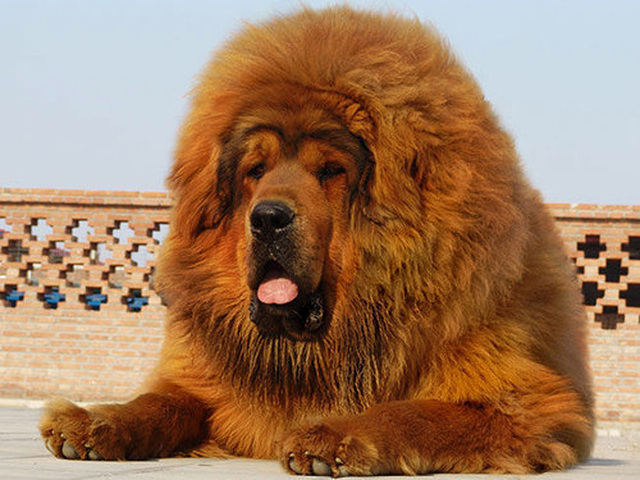 Lion dogue tibétain