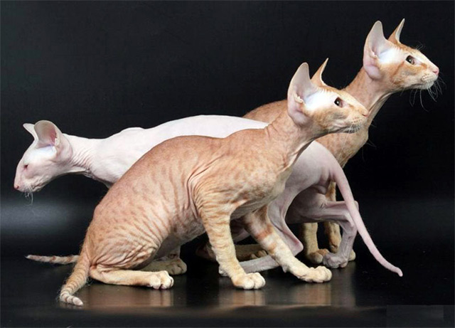 Peterbald cat - chat russe