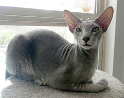 Peterbald chat - cat