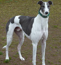 levrier greyhound