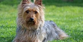 Photo de l'Australian Terrier