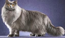 Chat-British-Longhair