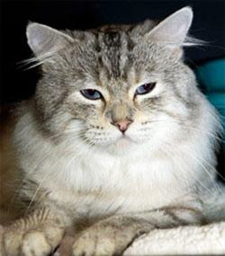 chat américain bobtail