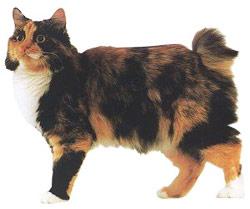 chat bobtail russe