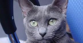 Photo du chat Bleu Russe