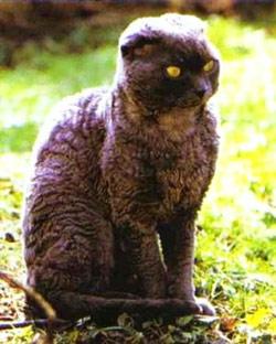 chat caniche pudelkatze