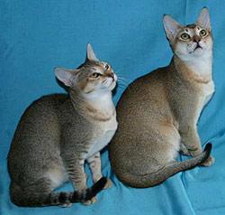 chat du Ceylan