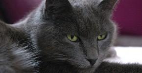 Photo du chat Chartreux