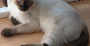 Photo du Chat Siamois