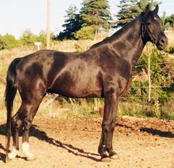 cheval arabe barbe
