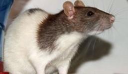 rat-domestique