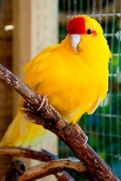 Kakariki-jaune-front-rouge
