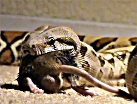 boa constrictor mange un serpent