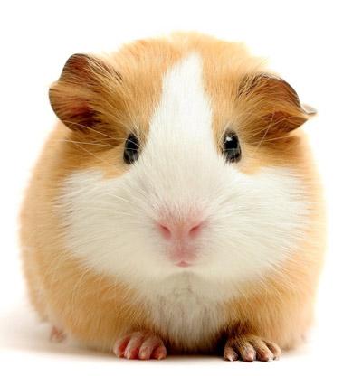 hamster roux et blanc