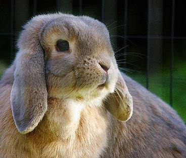 lapin domestique oreilles basses