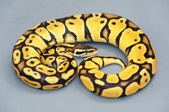 python royal jaune noir
