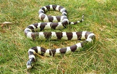 serpent roi californie