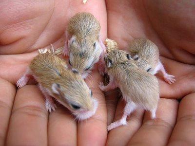 Hamster-roborovski