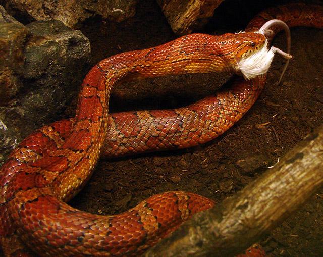 serpent des blés mange souris