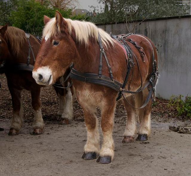 cheval de trait breton - Rochelle