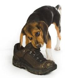 chien mange chaussure