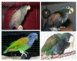 perroquet pione