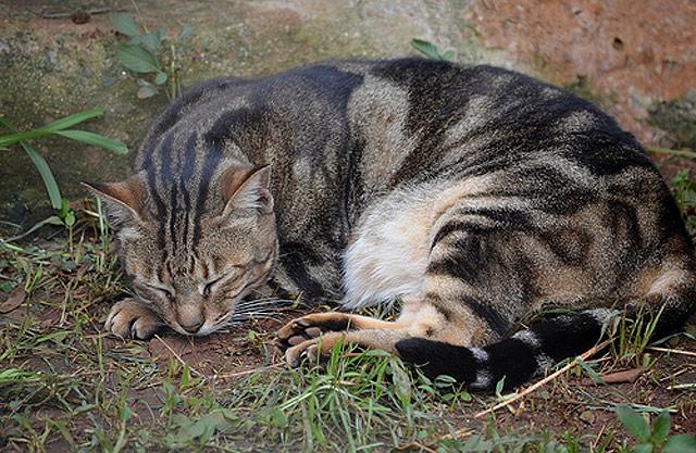 chat Sokoké du Kenya
