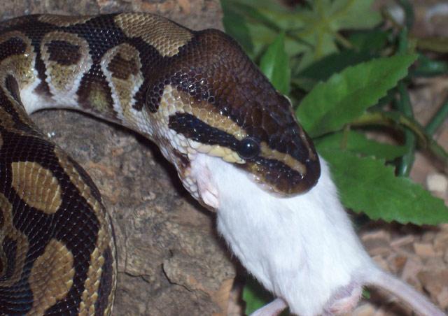 souris ou rats pour serpent