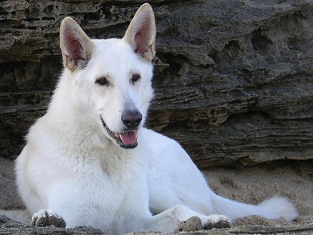 Magnifique berger blanc