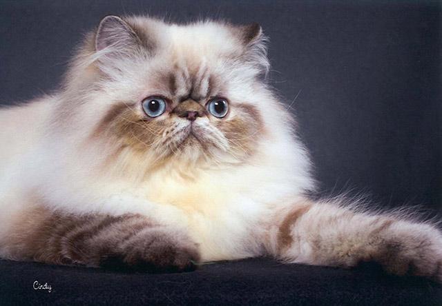 Chat Persan poils longs
