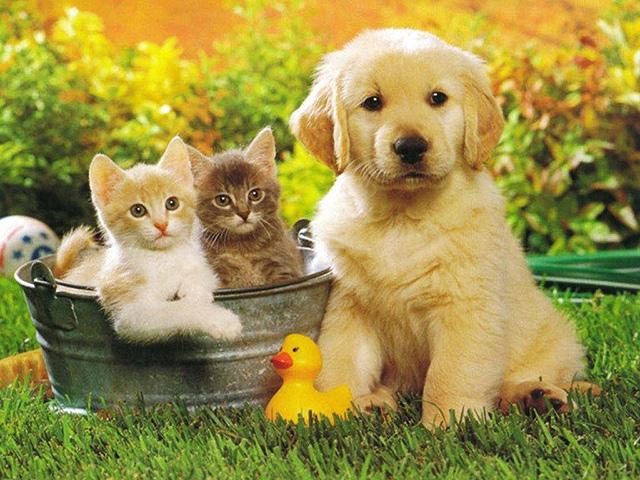 Golden Retriever chien adorable