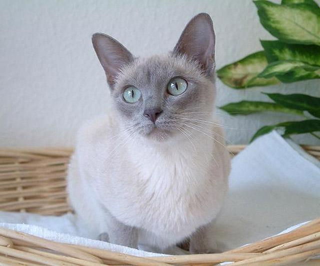 Tonkinois chat