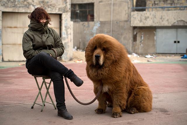 Dogue tibétain
