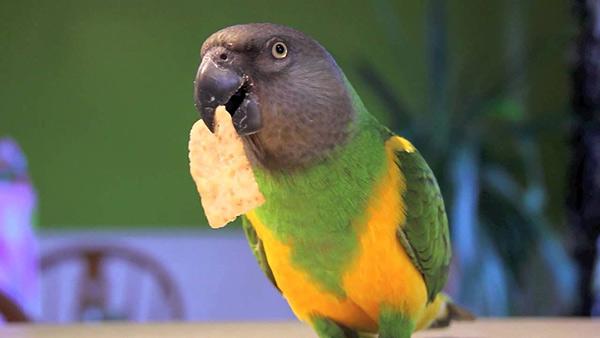 Youyou du Sénégal qui mange et parle